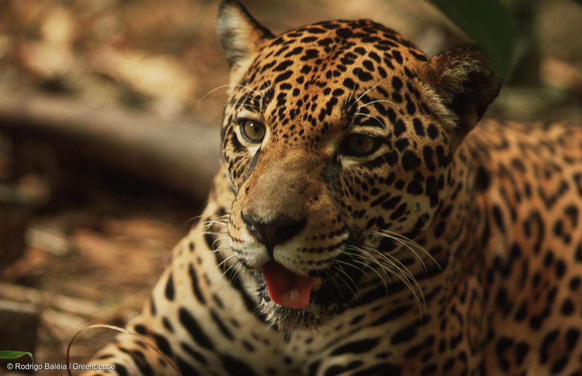 Yaguaretés al borde de la extinción